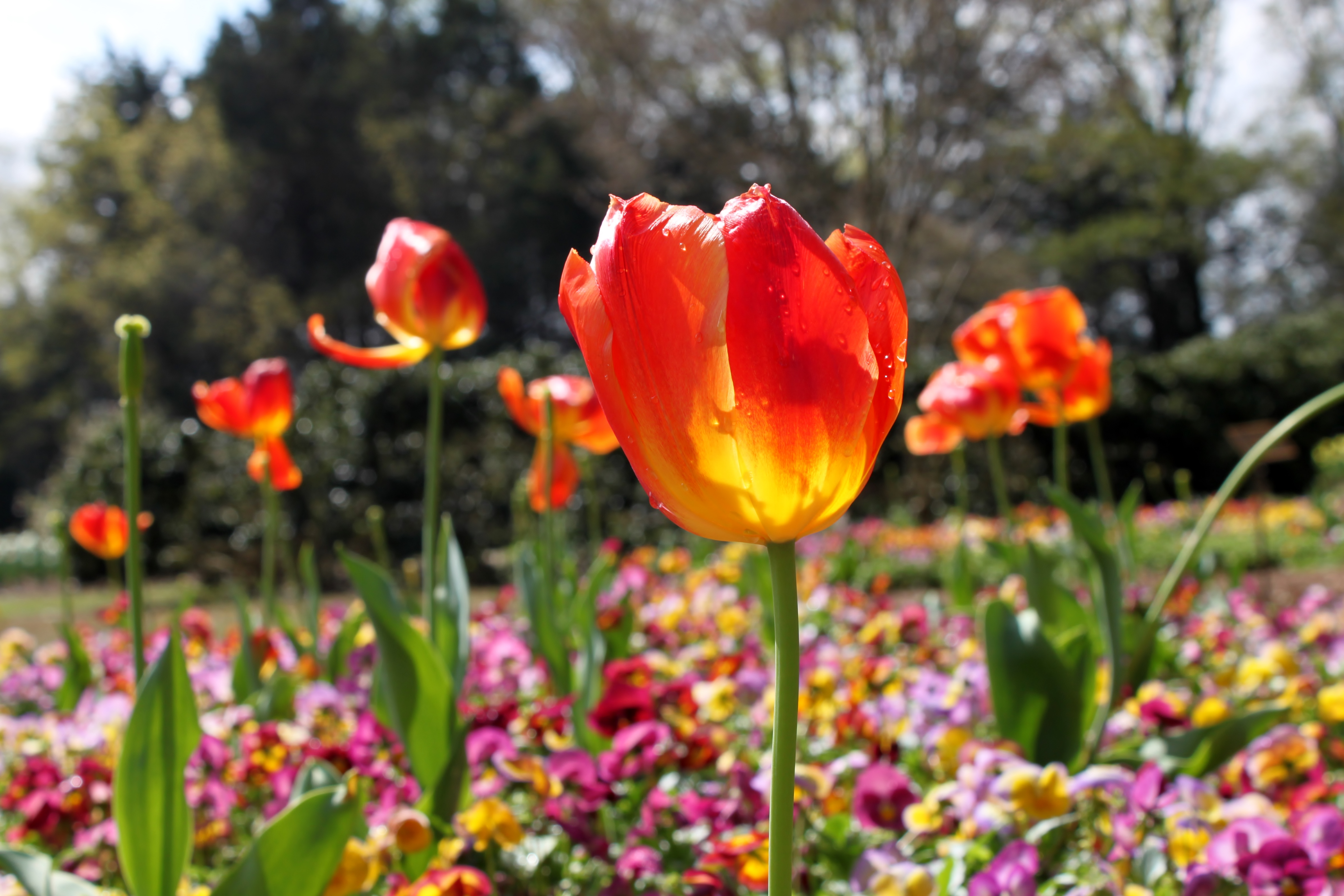 ThingstoDo_Tulips