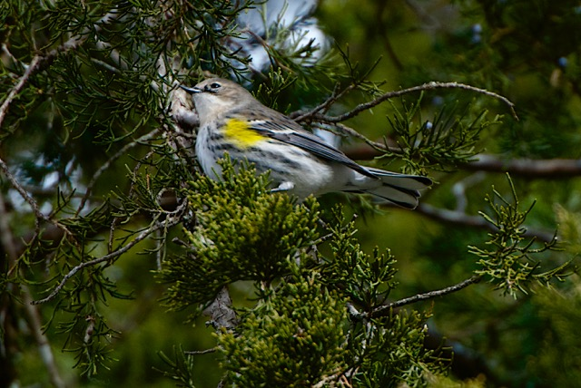yellow-rumped-warbler-on-eastern-red-cedar