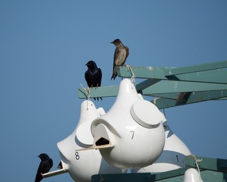 Purple Martins at Selected Nest Gourd