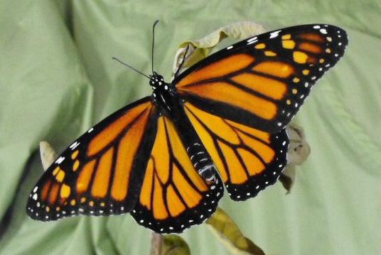 ButterflyBlogFacts18