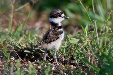 Killdeer Chick exploring in the East Meadow