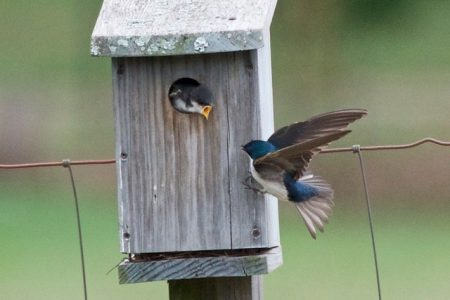 Tree Swallow feeding Chick in East Meadow