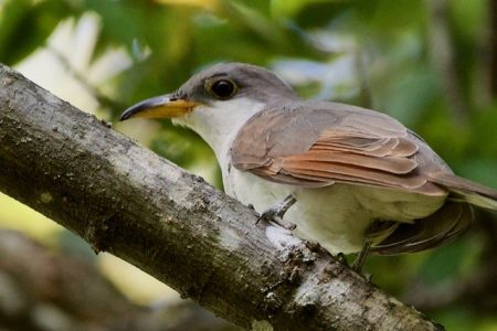 Yellow-billed Cuckoo looking for the next meal
