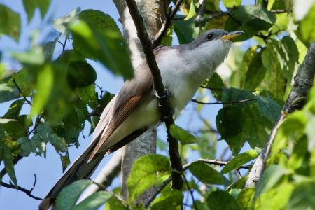 Yellow-billed Cuckoo searching for food