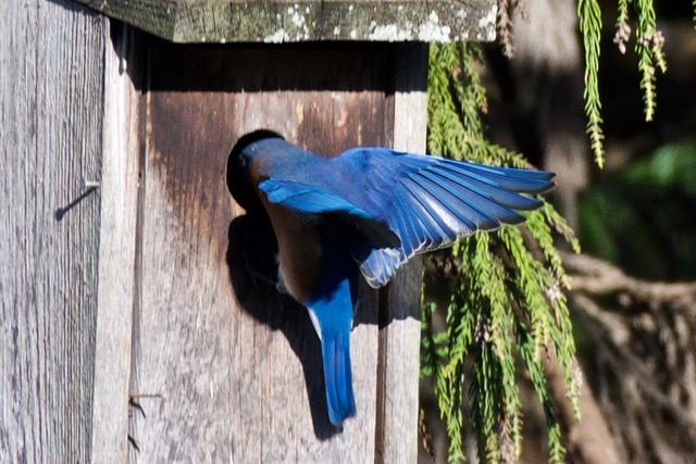 Eastern Blue Bird Male - checking out a nest box