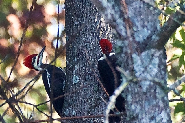 Pileated Woodpecker - a rare sight seeing two at one time